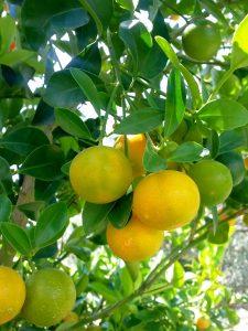 Limones conservante y antioxidante natural