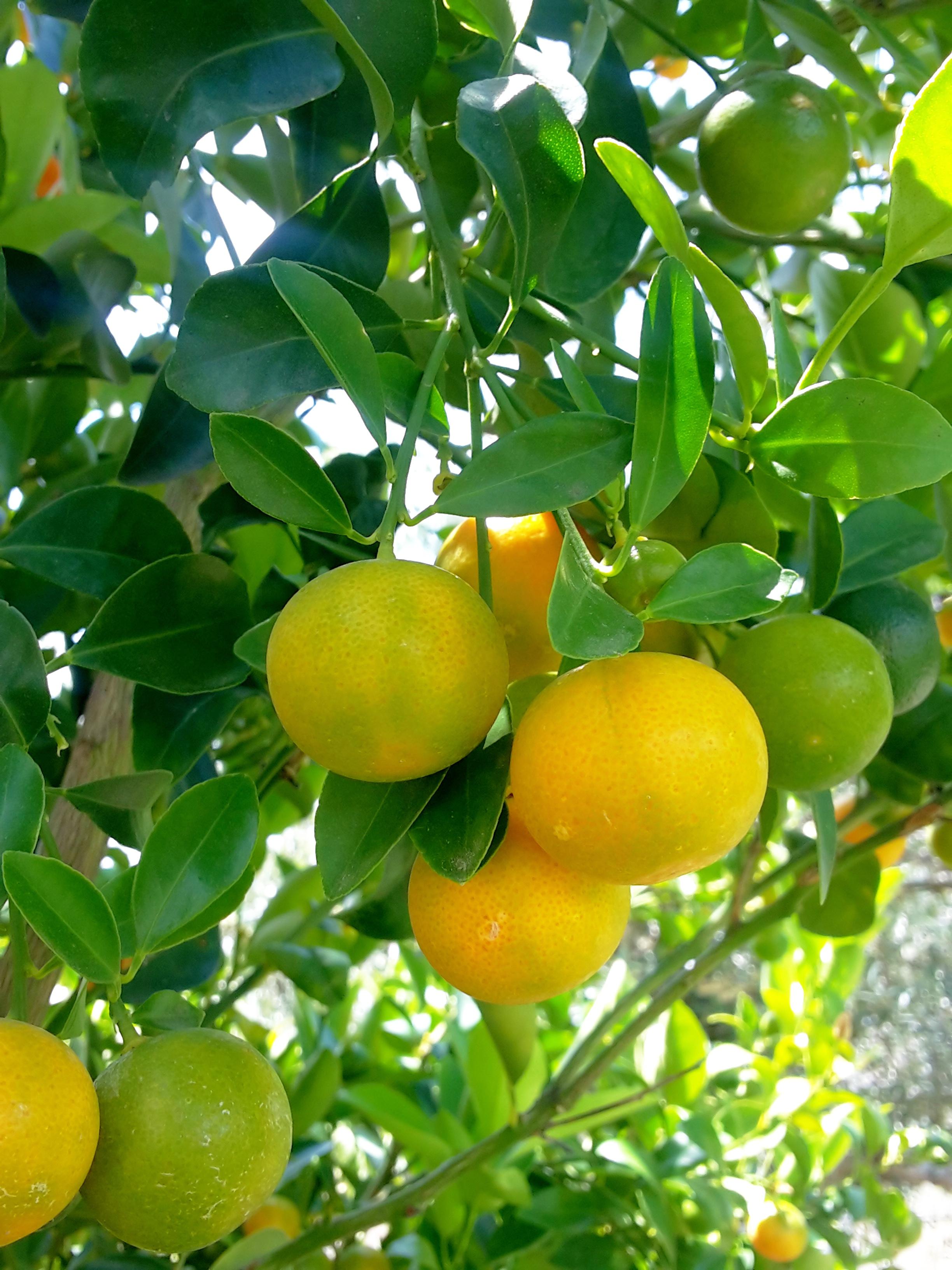 Naranjas. Finca Señora Lupe
